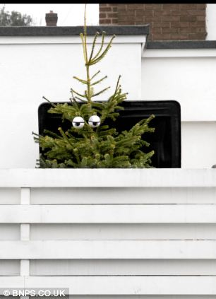 peeking glum tree